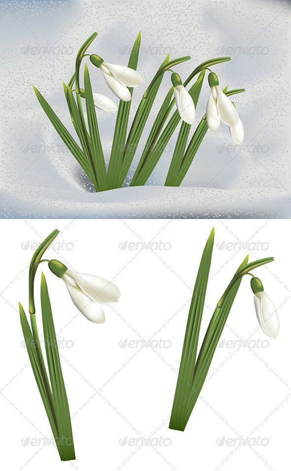 Snowdrops in Snow - Landscapes Nature