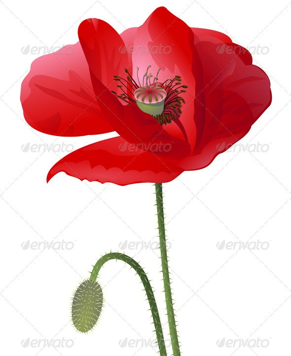 Poppy Flower Isolated  - Flowers & Plants Nature