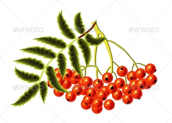 Rowan on a White Background. Vector Illustration. - Seasons Nature