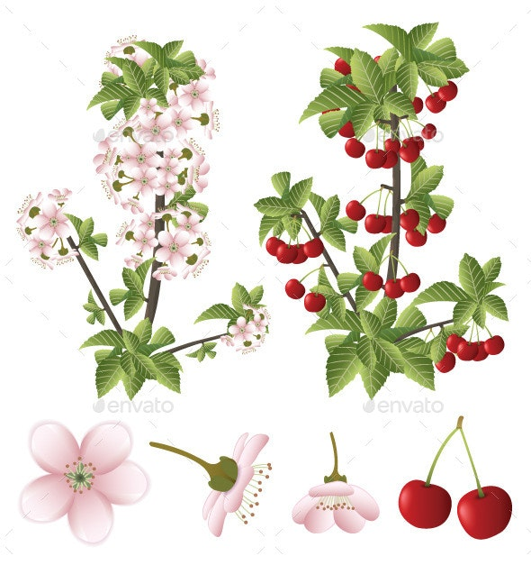 Cherry Blossom and Fruits - Flowers & Plants Nature
