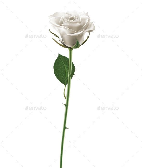 White Rose - Flowers & Plants Nature