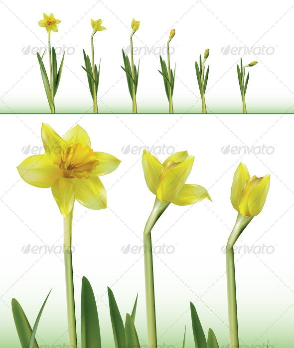 Daffodil Time Lapse - Flowers & Plants Nature