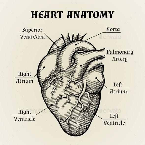 Black and White Heart Anatomy Graphic - Health/Medicine Conceptual