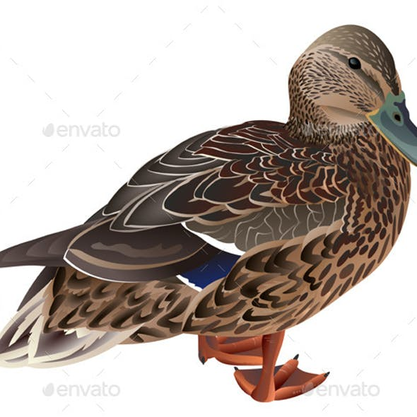 Wild Female Duck