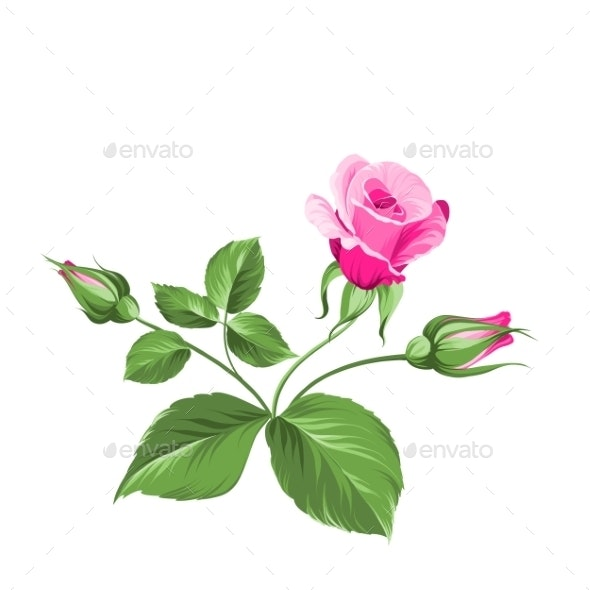 Pink Rose. - Flowers & Plants Nature