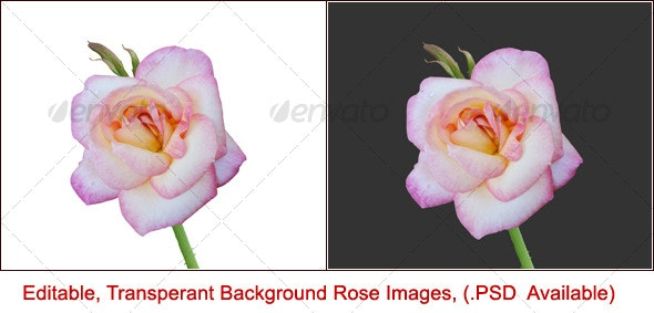 Pink Rose - Nature & Animals Isolated Objects