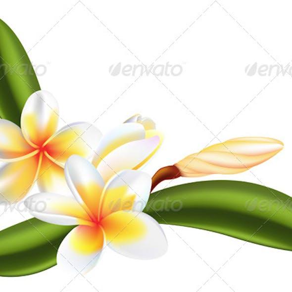 Frangipani or Plumeria Flower