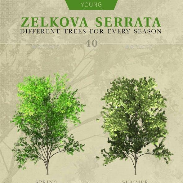 Young Zelkova Serrata Tree