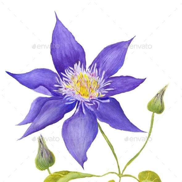 Clematis Botanical Illustration