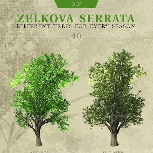 Zelkova Serrata Trees