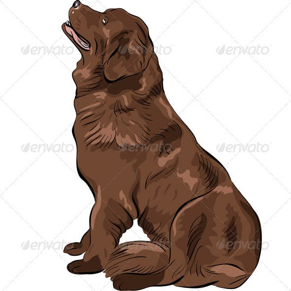 Vector Color Sketch Dog Newfoundland breed