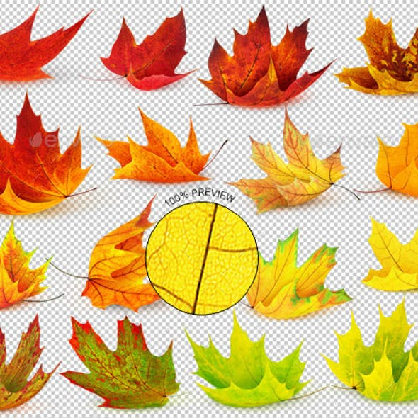 16 Autumn Maple Leaves
