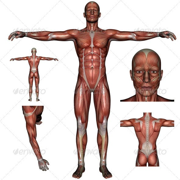 Human Muscle Bundle
