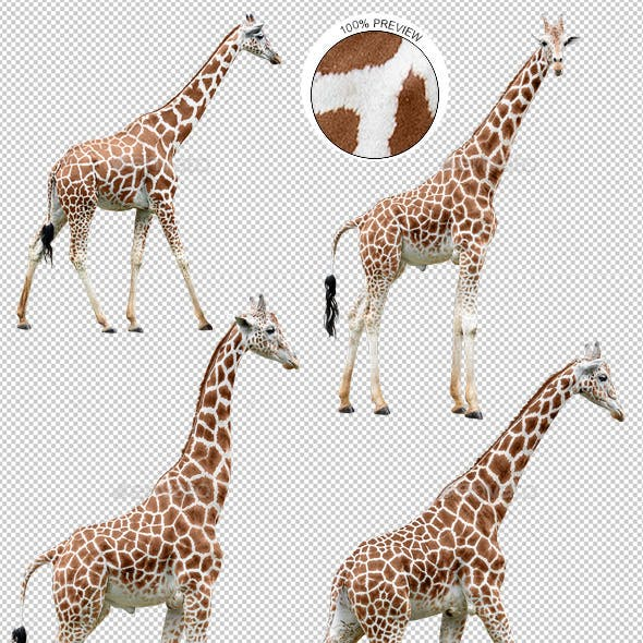 Collection of Giraffes in Various Poses
