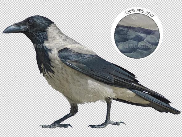 Hooded Crow Walking