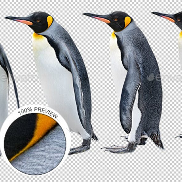King Penguin in Various Poses