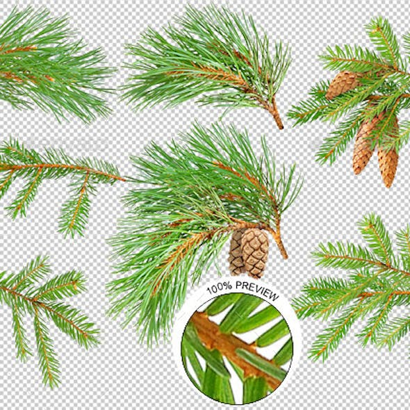 Pine and Fir Trees Branches