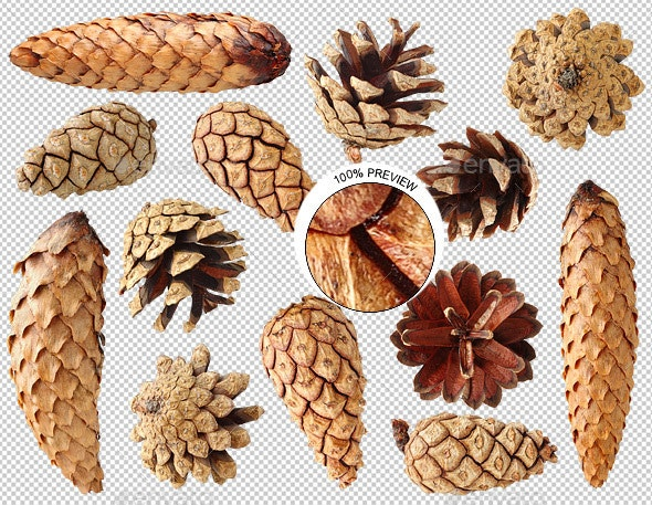 Pine and Fir Tree Cones
