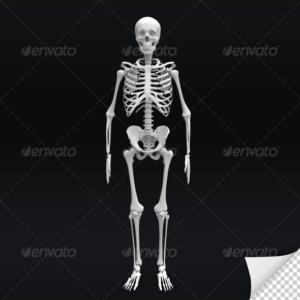 Skeleton 3D Render