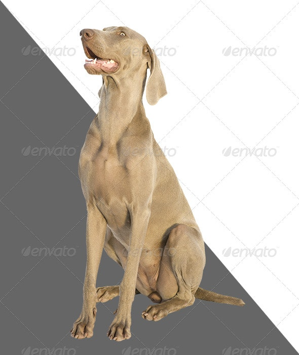 Weimaraner looking above - Nature & Animals Isolated Objects