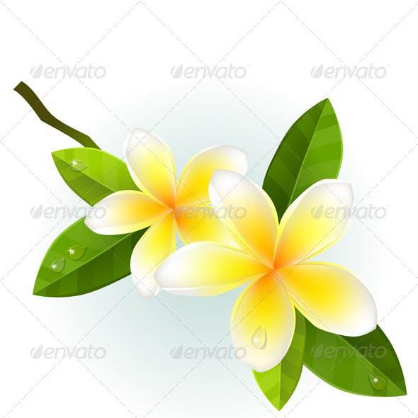 Frangipani Flower on White