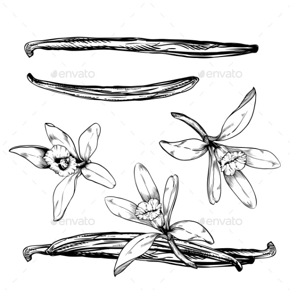 Vanilla Pods and Flower Isolated on White - Food Objects