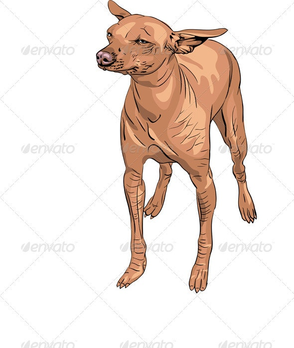 vector Mexican Hairless Dog Xoloitzcuintle Breed - Animals Characters