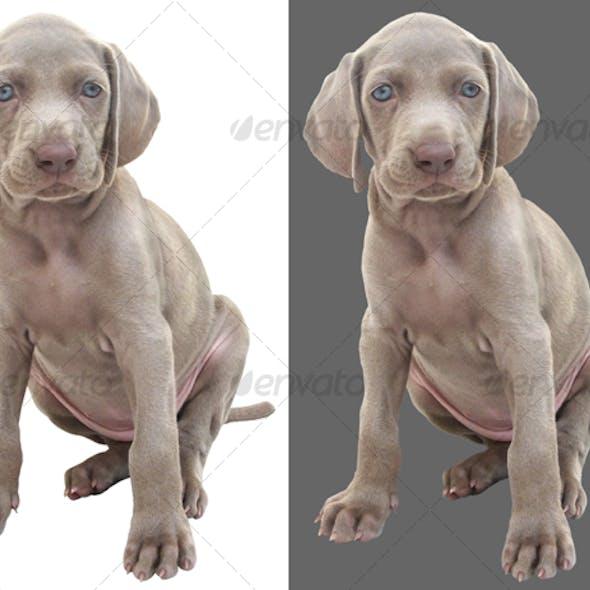 Weimaraner puppy 01