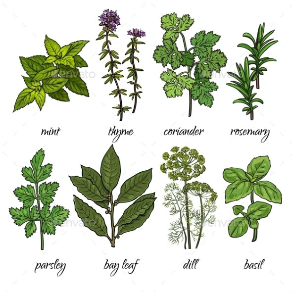 Set of Rosemary, Mint, Thyme, Coriander, Parsley