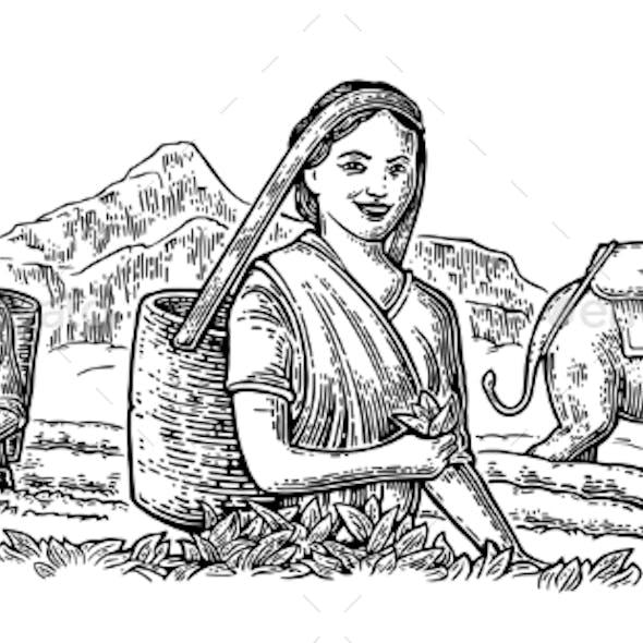 Female Tea Pickers Leaves