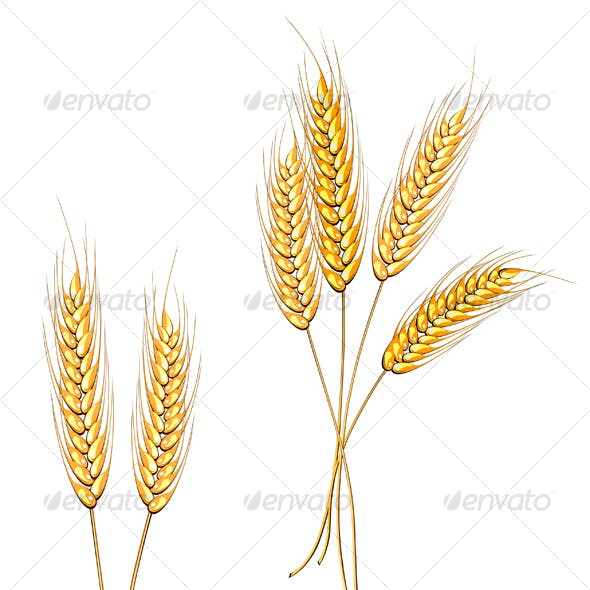 Ripe wheat isolated on white