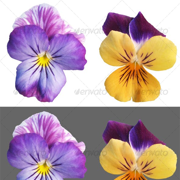 Two Pansy flowers