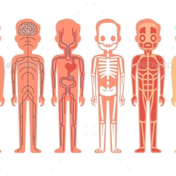 Human Body Anatomy Vector Illustration Male