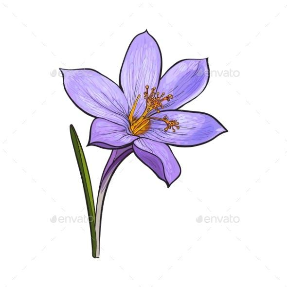 Delicate Single Crocus Spring Flower