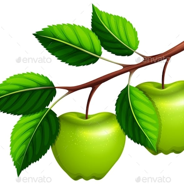 Green Apples on the Branch