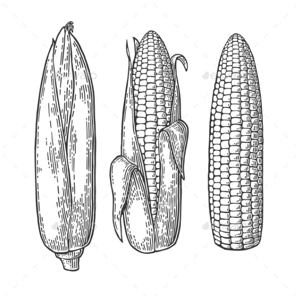 Cob of Corn From the Closed to Cleaned