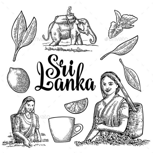 Female Tea Pickers Harvesting Leaves