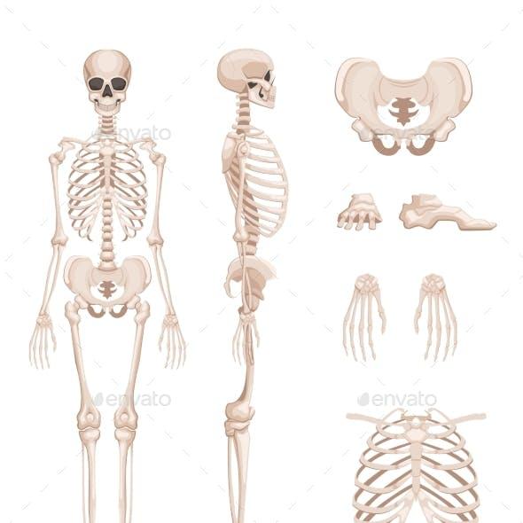 Vector Illustration of Human Skeleton in Different