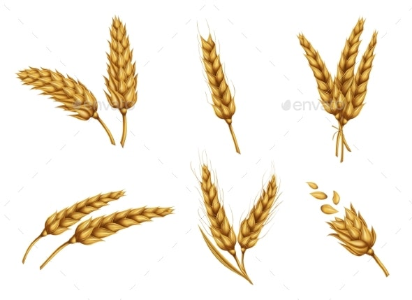 Golden Wheat Ears and Grains Realistic Vector Set - Flowers & Plants Nature