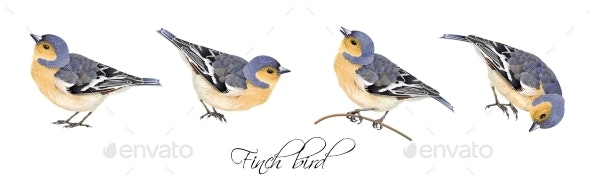 Finch Bird Illustrations Set - Animals Characters