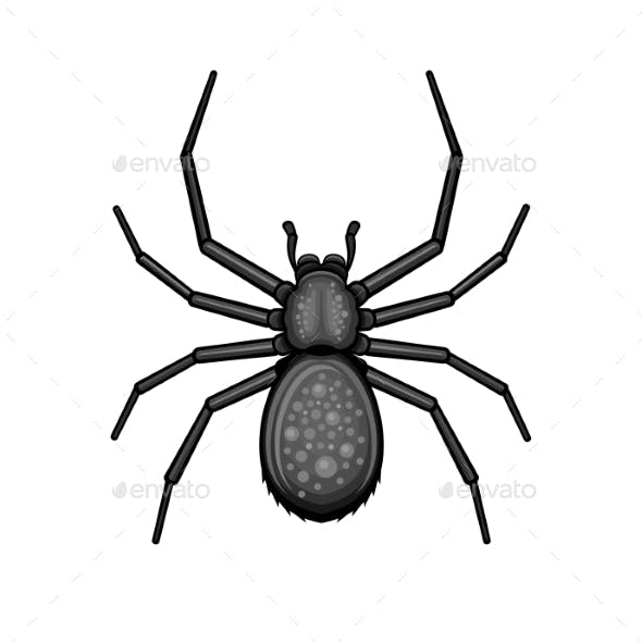 Spider Black Arachnid on White Background