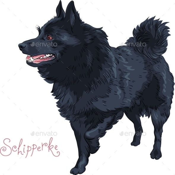 Color Sketch Black Dog Schipperke Breed - Animals Characters