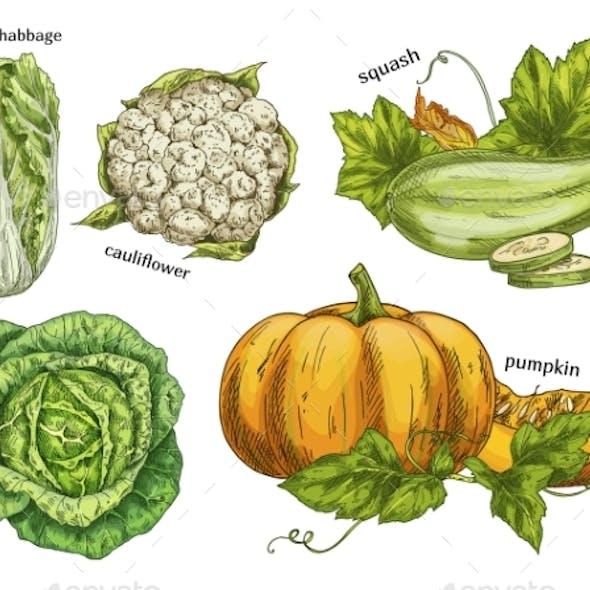 Sketch of Napa Cabbage, Squash and Cauliflower