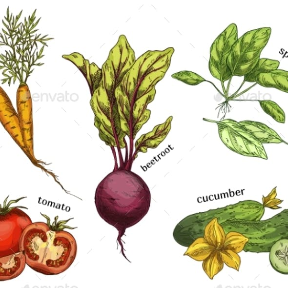 Sketches for Carrot Tomato Cucumber and Beetroot