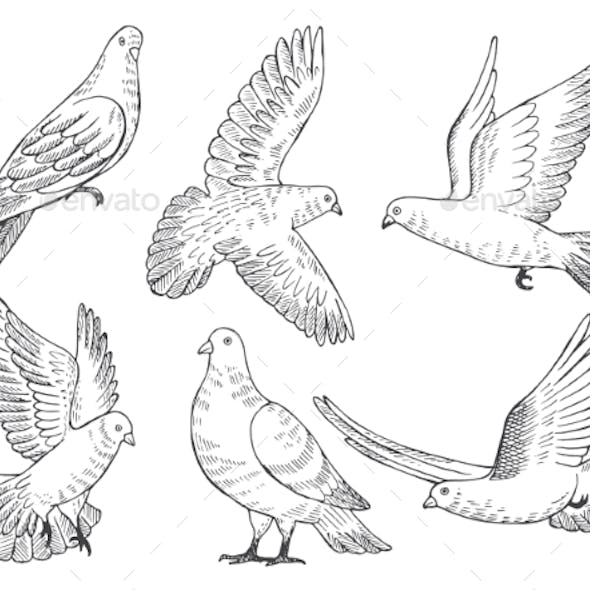 Illustrations Set of Pigeons
