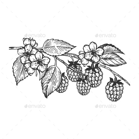 Raspberries Branch Engraving Vector Illustration - Food Objects