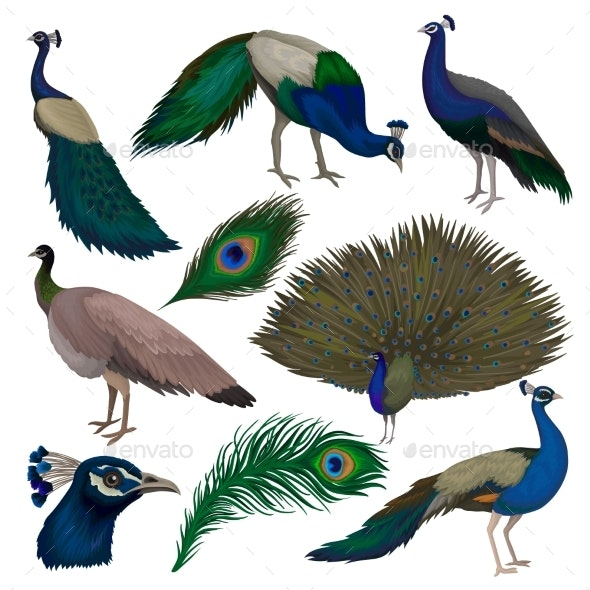 Detailed Flat Vector Set of Peacocks - Animals Characters
