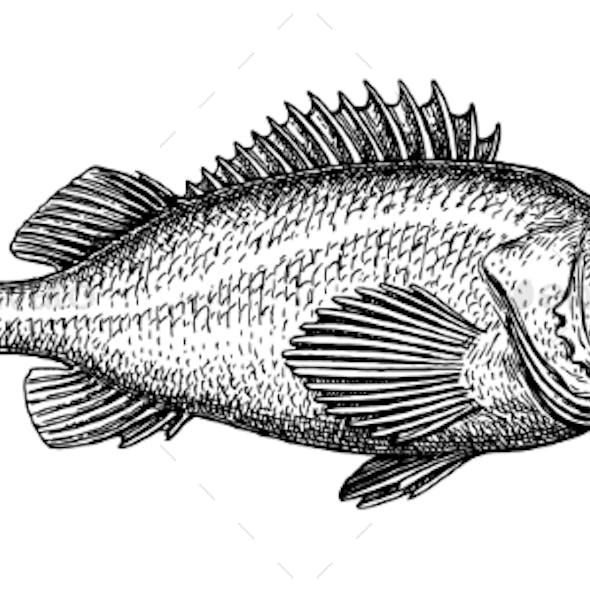 Ink Sketch of Rockfish