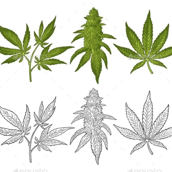 Marijuana Mature Plant with Leaves and Buds