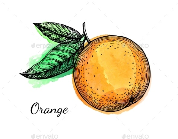 Ink Sketch of Orange on Watercolor Background - Food Objects
